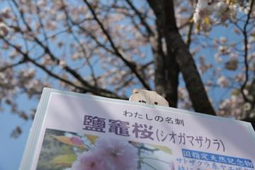shiogamazakkura_kanban.jpg
